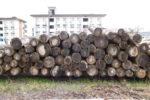 伐採された杉の原木