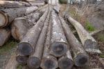伐採された杉の材木